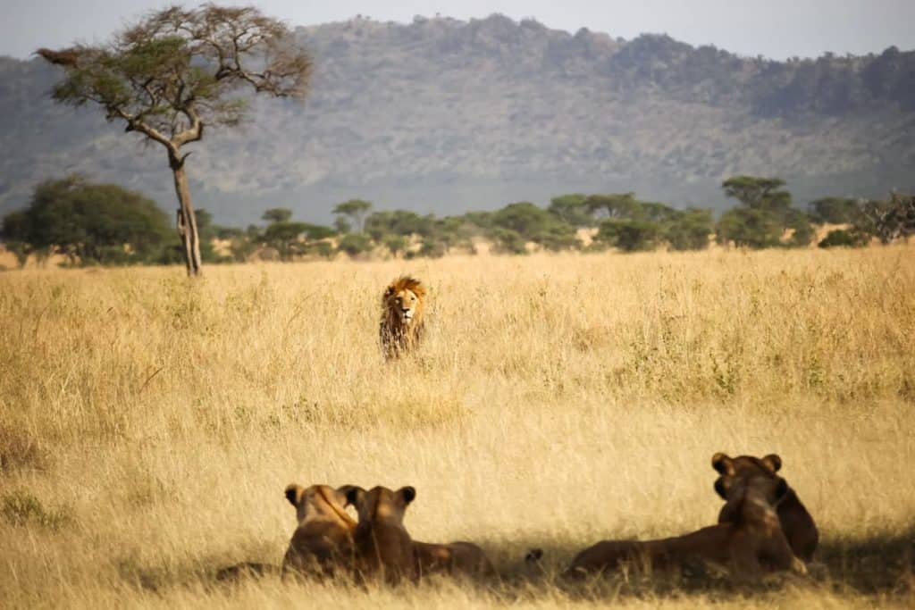African savannah image with three female lions sitting in the foreground, a male lion approaching from the distance, green bushes in the background, pale gold grass in the foreground. Exemplifying the Gestalt principle of Figure/Ground organisation. The application of simple principles of Gestalt psychology for web design can greatly enhance the user experience and interface of the websites we design. © Fabrizio Frigeni